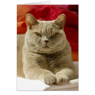 Lilac british shorthair cat card