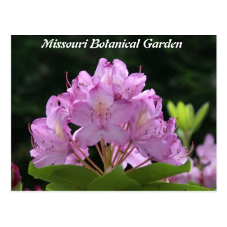 Lilac Rhododendron Postcard