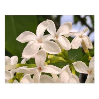 Lilac white flower photo postcard