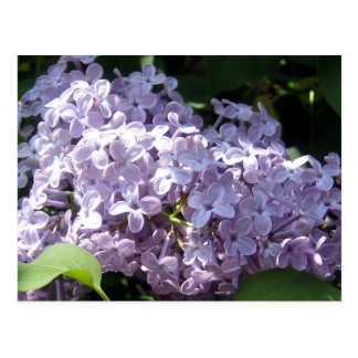 Lilacs in Full Bloom Postcard