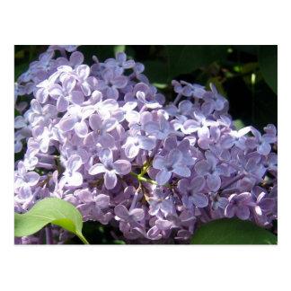 Lilas en pleine floraison cartes postales