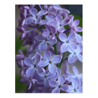 Lilas floral tree in blom postcard