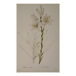 Lilium Candidum, from `Les Liliacees', 1807 Poster