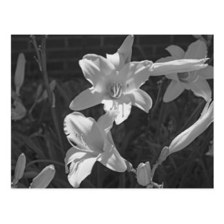Lillies Postcard