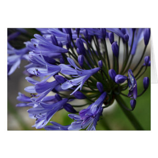 Lily of the Nile  (Agapanthus sp.) Card
