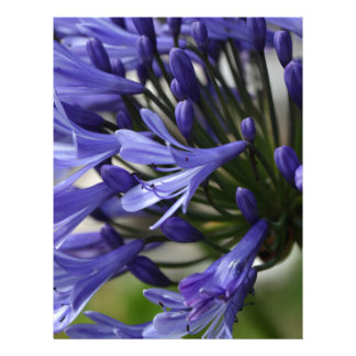 Lily of the Nile  (Agapanthus sp.) Letterhead Design