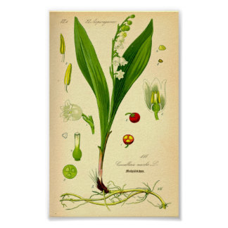 Lily of the Valley (Convallaria majalis) Poster