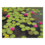 Lily pads and Lotus Flowers Poster