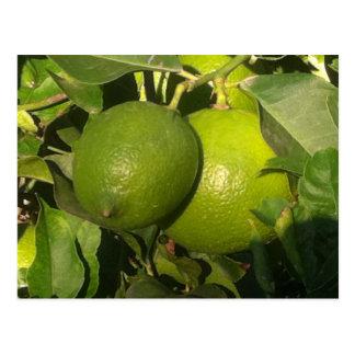 Lime Tree - Spain, Postcard
