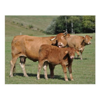 Limousin cow licking it's calf postcard
