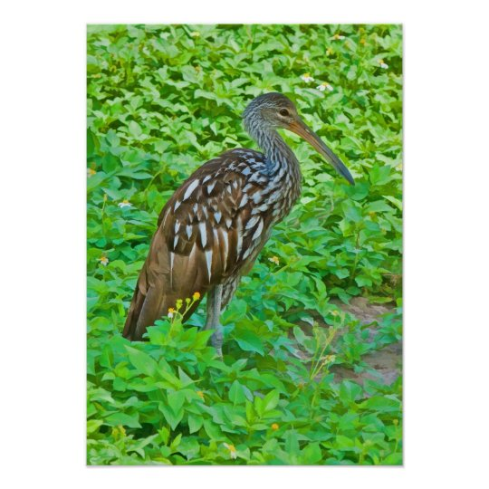 Limpkin, Swamp Bird Print
