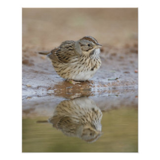 Lincoln's Sparrow reflected in ranch pond Poster