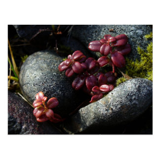 Lingonberry Leaves - Autumn Colors, Unalaska Islan Postcard