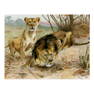 Lion and Lioness Postcard