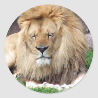 Lion Around Round Sticker