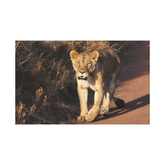 Lion crossing the road canvas print