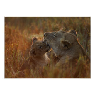 Lion cub aged about 12 months playing poster