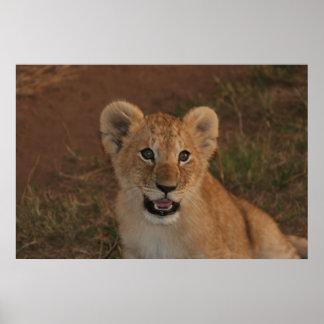 Lion cub in Masai Mara Poster