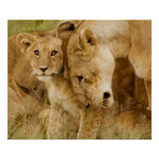 Lion Cub & Mother Poster