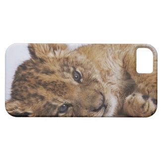 Lion cub (Panthera leo) lying on side, close-up iPhone 5 Case