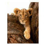 Lion Cub Post Card