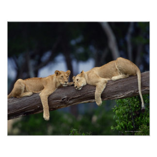 Lion cubs lying on tree branch , Kenya , Africa Poster
