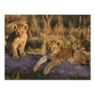 Lion cubs on log, Panthera leo, Masai Mara, 3 Postcard