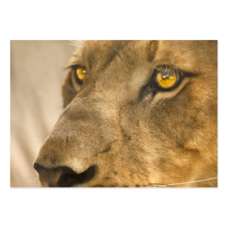 Lion Face - ACEO 6 Pack Of Chubby Business Cards