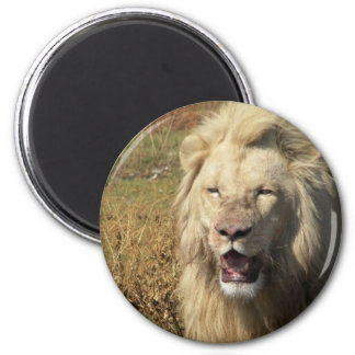 Lion in South Africa Magnet