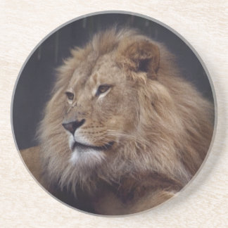 Lion Keeping Watch Over His Pride Drink Coasters