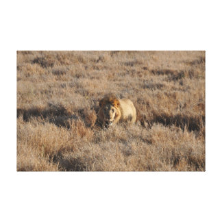 Lion looking at us canvas print
