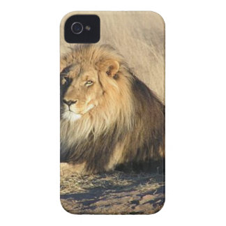 Lion lounging in Nambia iPhone 4 Covers