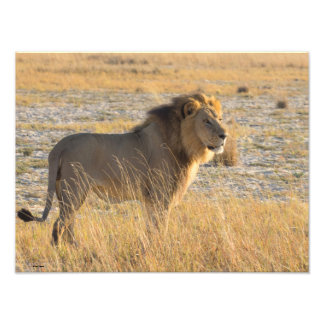 LION MALE 13 PHOTO ENLARGEMENT