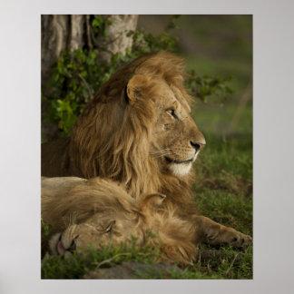 Lion, Panthera leo, Lower Mara, Masai Mara GR, Poster