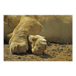 Lion Paws Photo Print