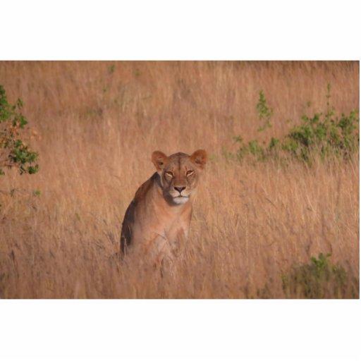 Lion Photo Cut Out