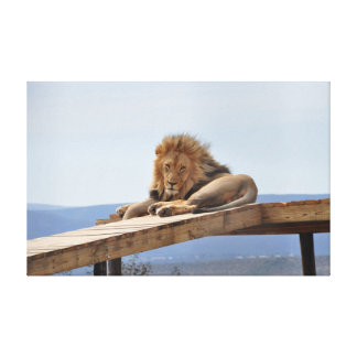Lion resting on a scaffold canvas print