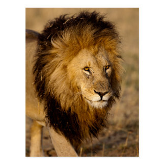Lion Stalking Postcard