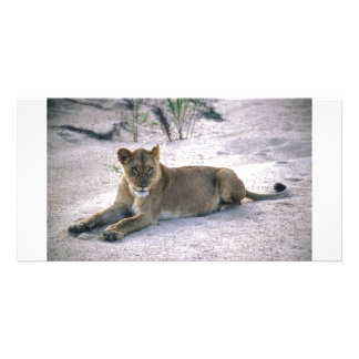 lioness837 photo card