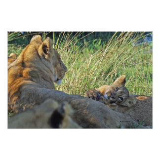 LIONESS AND CUB PHOTOGRAPH