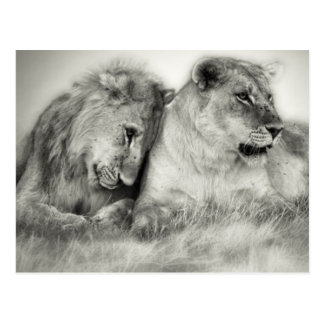 Lioness and son sitting and nuzzlingin Botswana Postcard