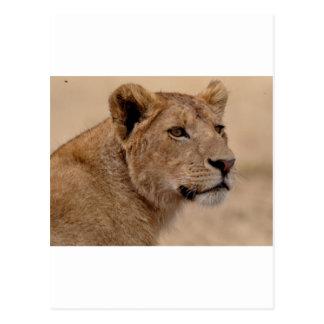 Lioness head closeup postcard