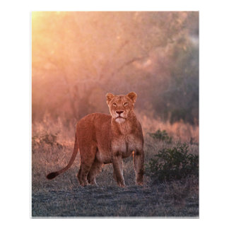 Lioness in the morning photo print