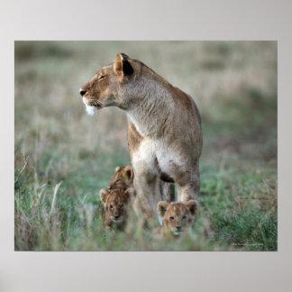 Lioness (Panthera leo) and cubs, Masai Mara Poster