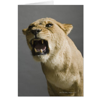 Lioness roaring card