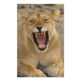 Lioness Snarl B, East Africa, Tanzania, Poster