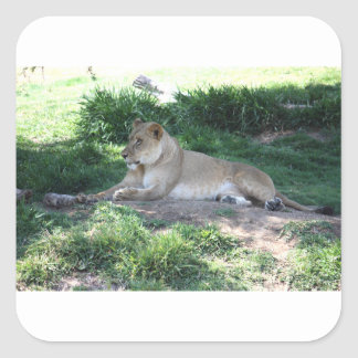 Lioness Square Sticker