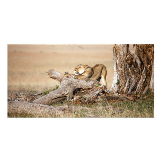 Lioness stretching photo card template
