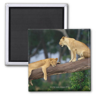 Lionesses in a tree magnet