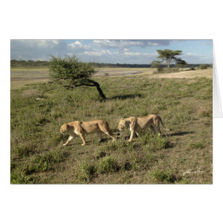 (Lions Clubs) Two Lionesses Walking (Ndutu Area) Card